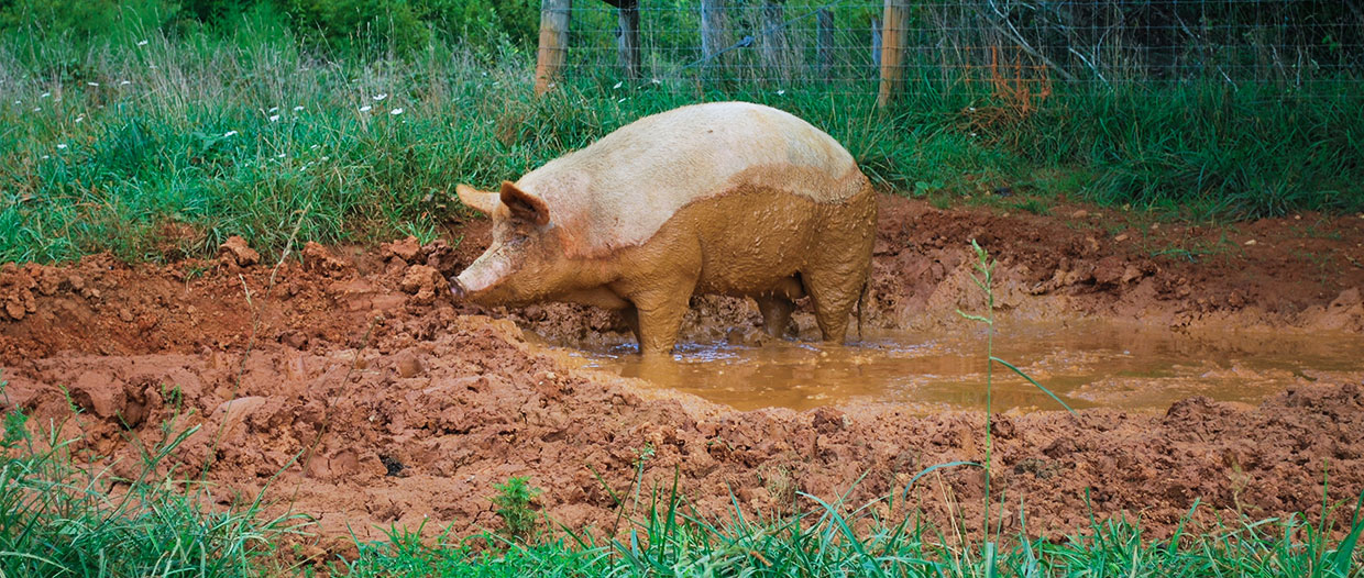 Pig-in-the-Mud-2